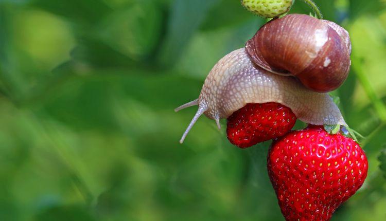 Sposoby na ślimaki w ogrodzie — co się sprawdzi.jpg